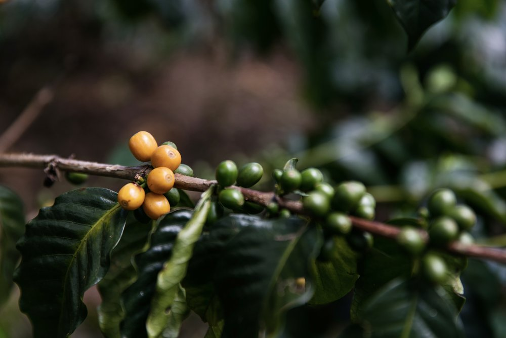 coffee plant - Colombia