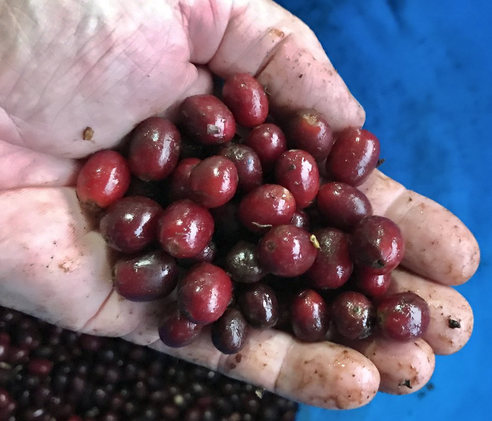 Coffee Cherries - Granja Esperanza, Colombia