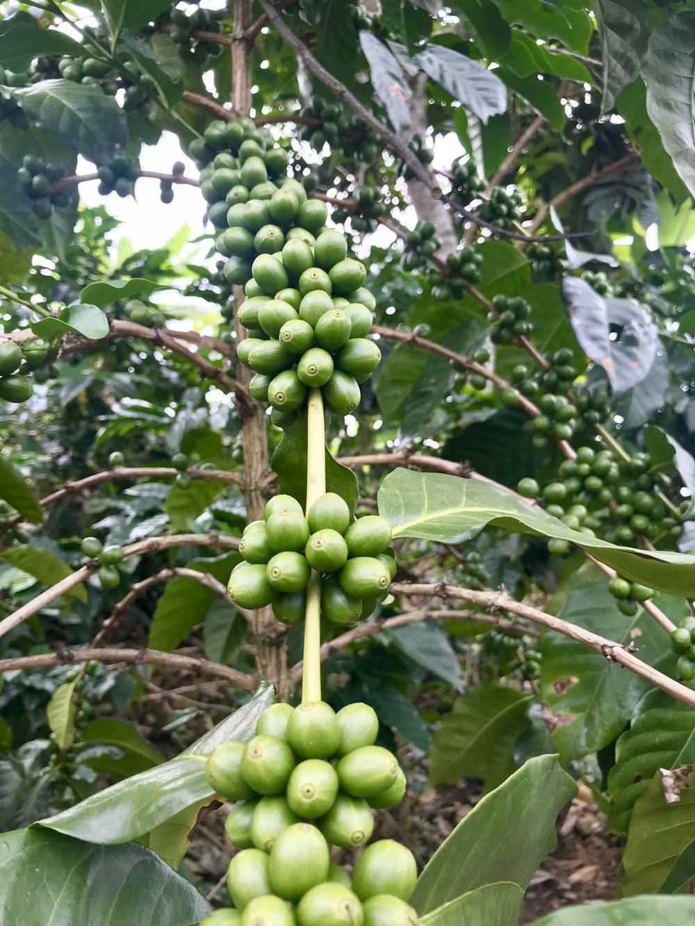 Healthy coffee plant - Ecuador