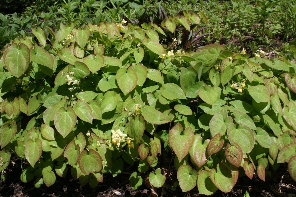Epimedium Yellow 050706.jpg