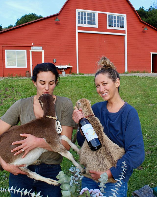 What pairs with locally made wine and cheese? #goats  If you haven't yet, you gotta check out my good friends @stepladdercreamery in San Simeon! Bring a bottle, eat some cheese and hang out with goats! Contact @farmandharvest for a tour!