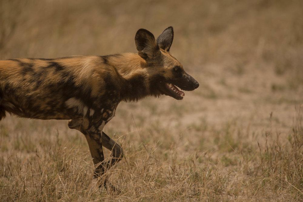 The endangered Wild Dog on the Hunt in Mombo, Okavango Delta