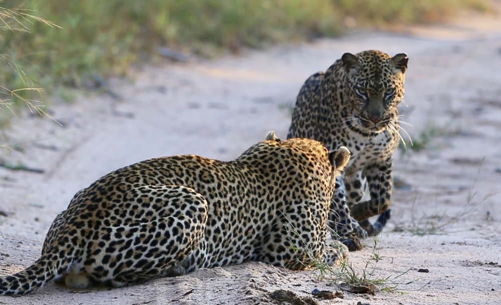 A female leopard about to entice a male into a week long mating ritual