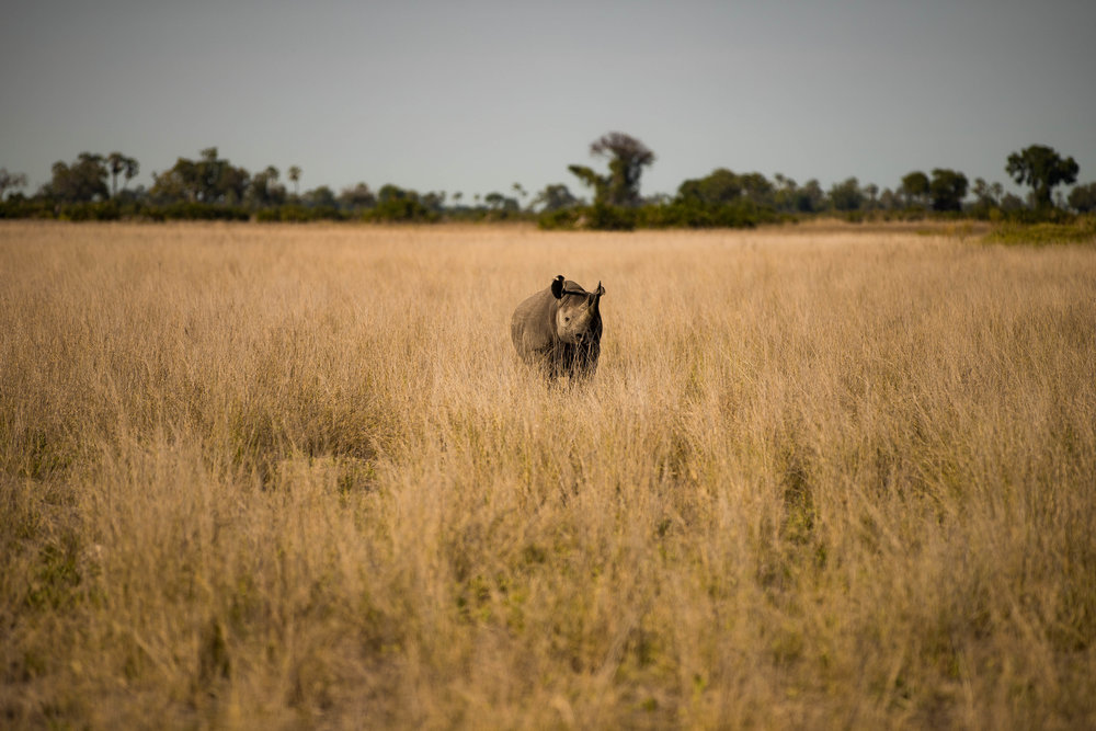 Black Rhino reintroduced in Botswana