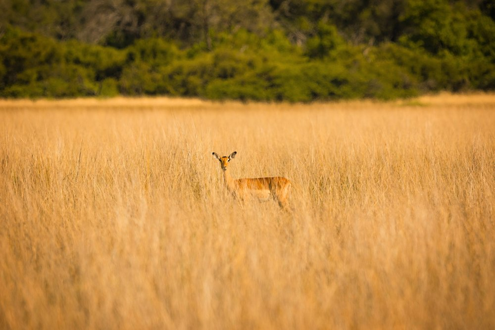 The quintessential Impala