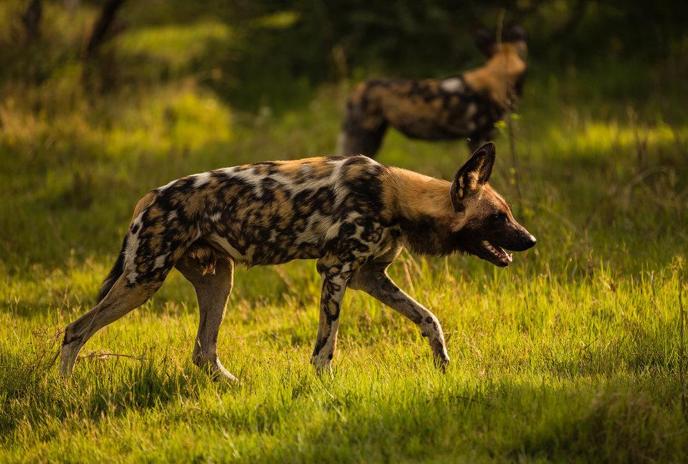 Wild Dogs in Chief's Island, Botswana