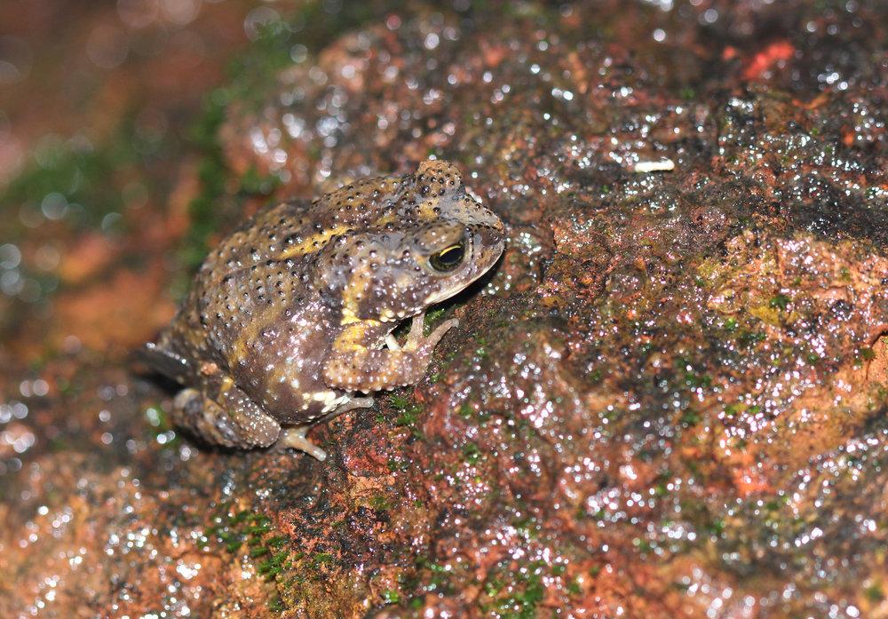 Amboli Toad.jpg