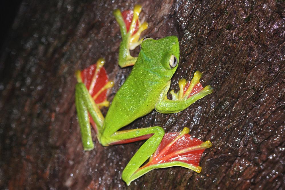 Gliding Frog3.jpg