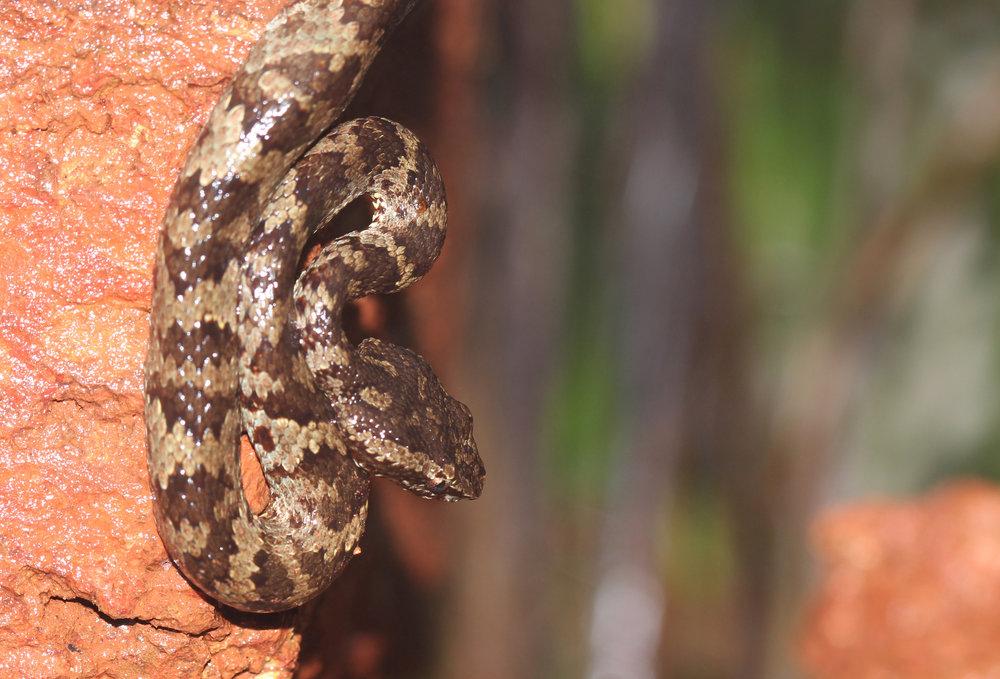 Malabar Pit Viper- Juvenile.jpg