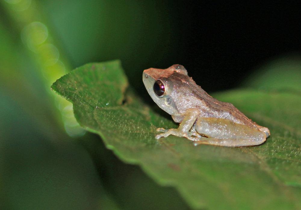 Amboli Bush Frog.jpg