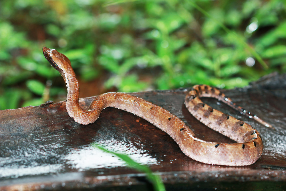 Humpnosed Pit Viper2.jpg