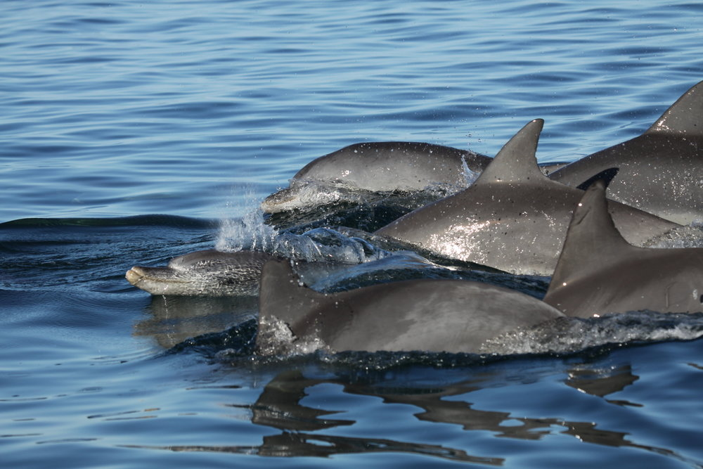 Bottlenose dolphins - Living up to 40 years, the bottlenose dolphins of Monkey Mia show an astonishing complexity of social relationships. Both males and females have preferred associates or