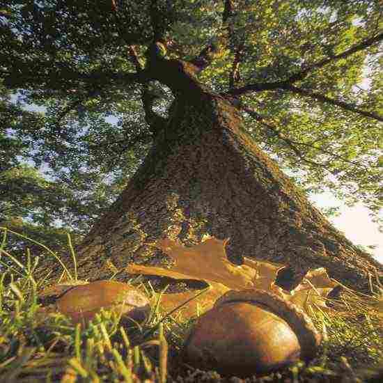 acorn_oak_tree.jpg