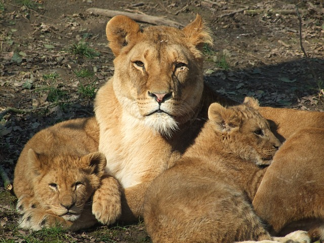 lioness_cubs.jpg