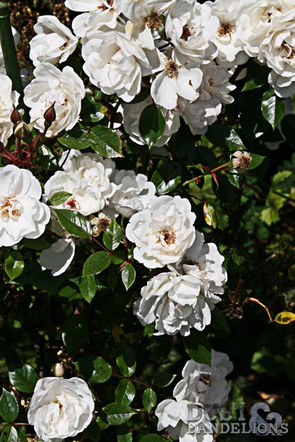 InMYG-11-Roses.jpg