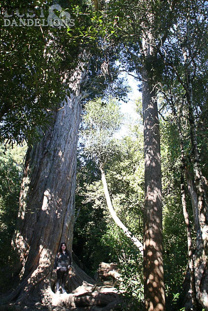 Peel Forest - Big Tree Walk