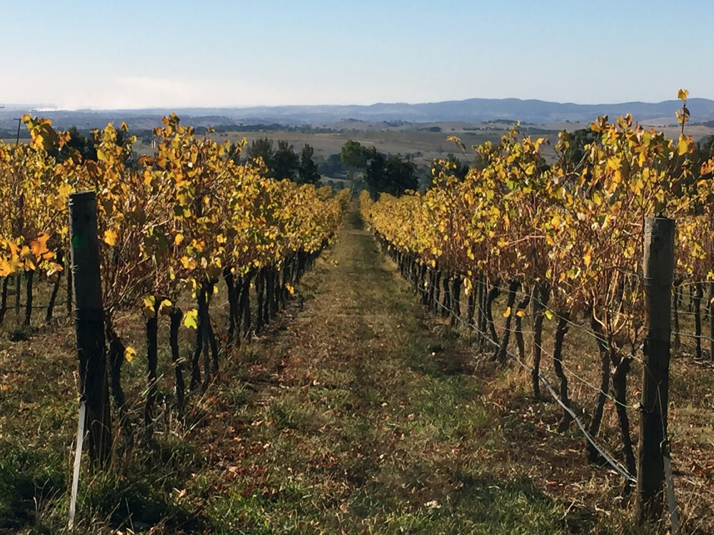 Orange_Autumn_Vineyard.jpg