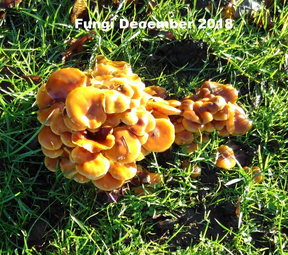 Fungus 9 Dec 18.jpg