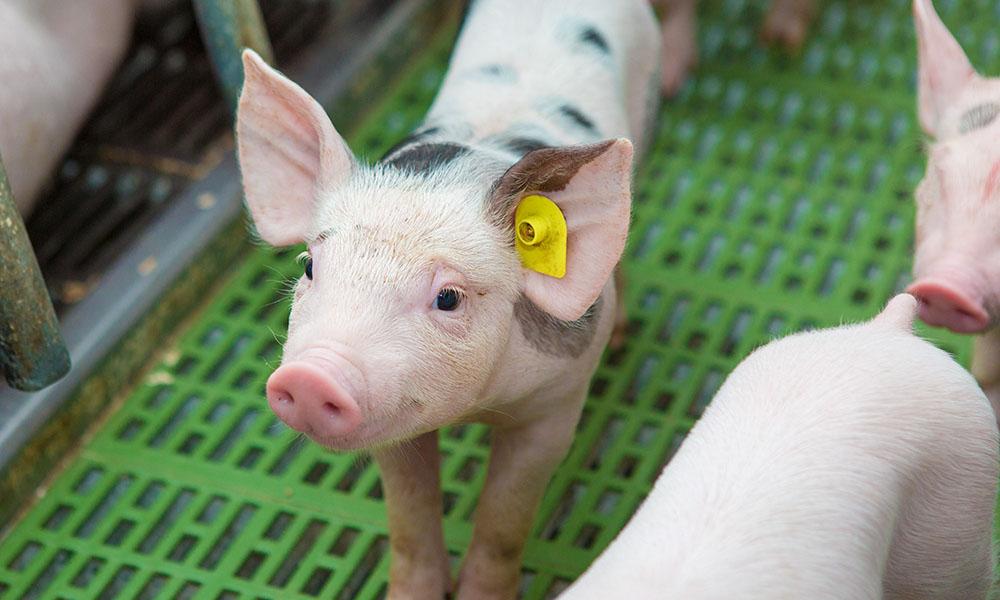 Sask Pork provides leadership for pork producers in Saskatchewan.