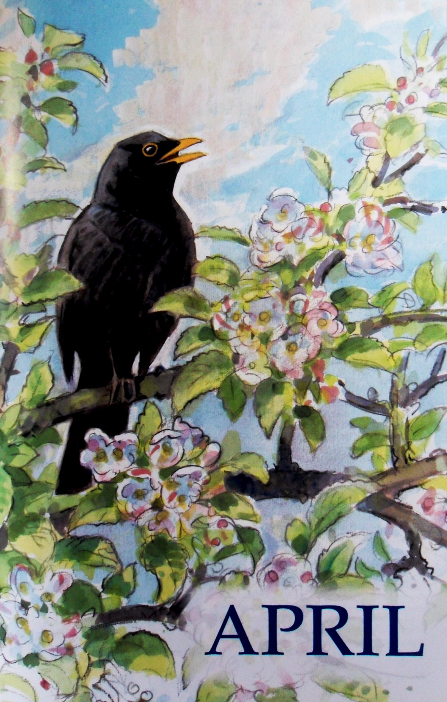A blackbird in full song - April (original book illustration by Peter Partington)