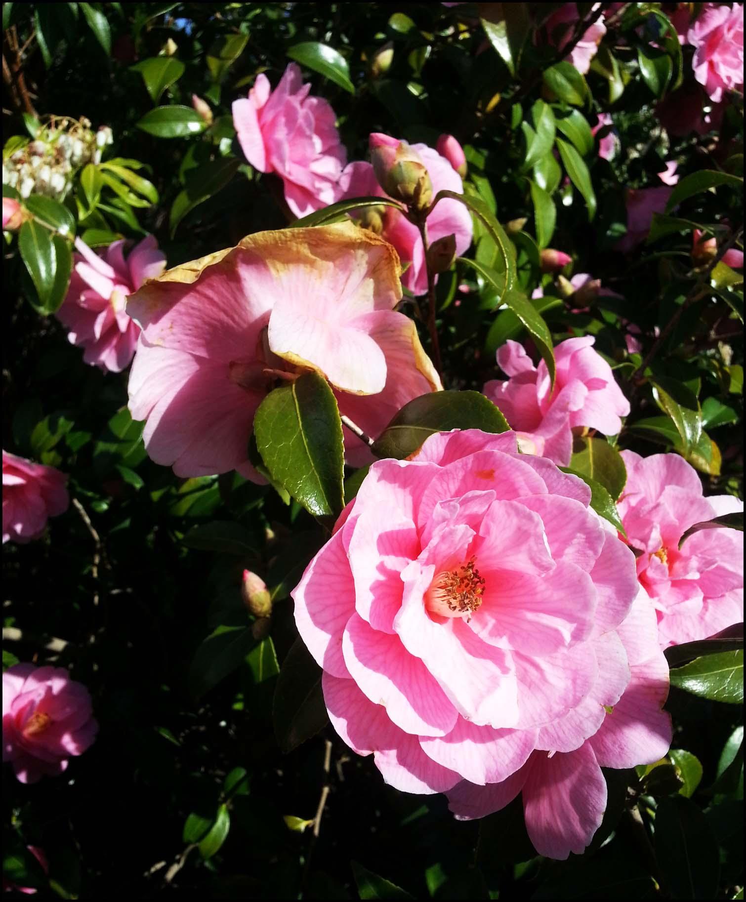 Camellias in the garden