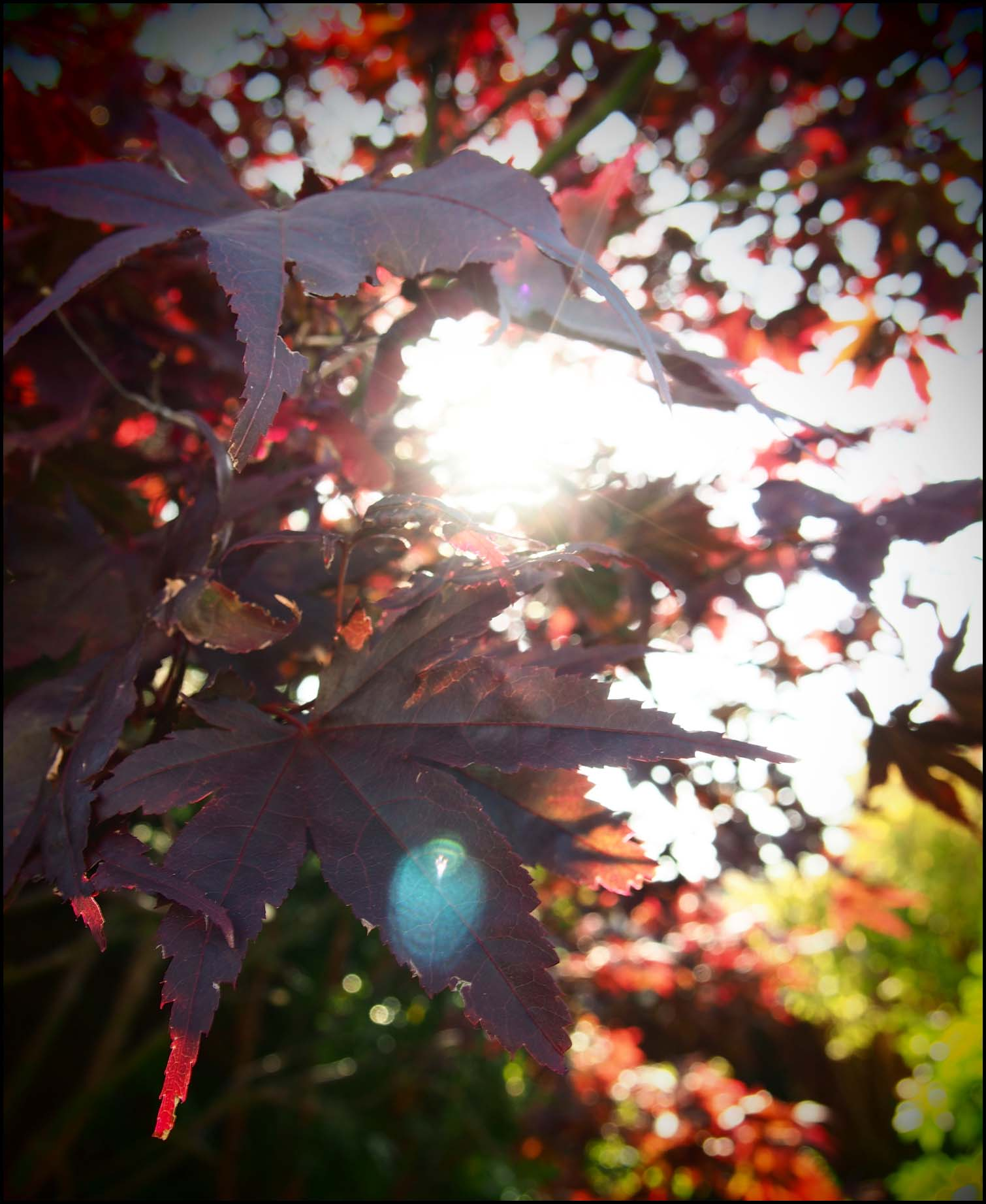 Sunlight through the leaves of the Acer tree