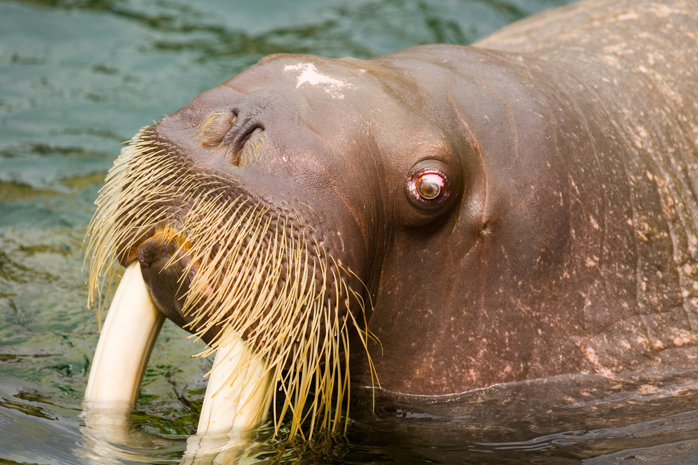 head-of-the-walrus-odobenus-rosmarus.jpg
