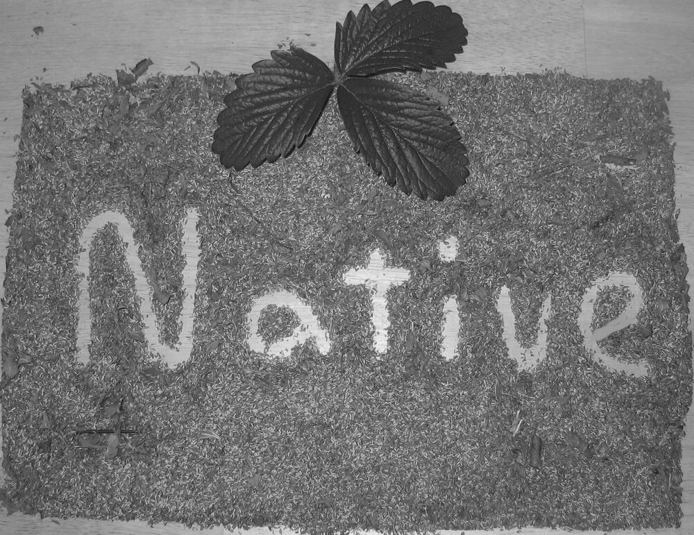 Native+with+seeds++BW.jpg
