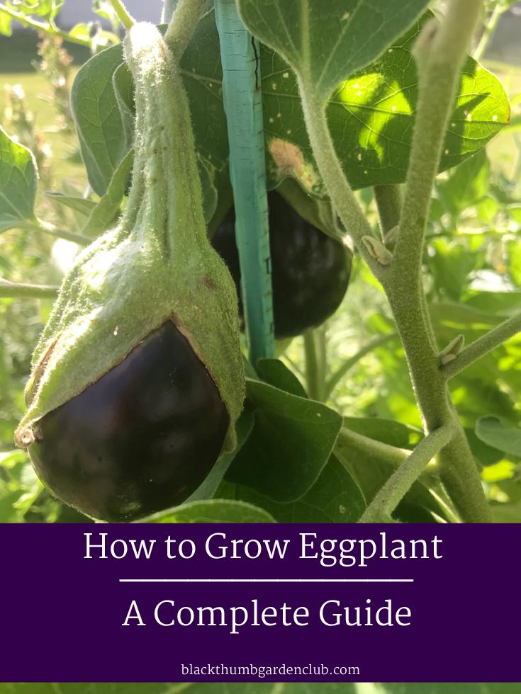 How To Grow Eggplant Backyard Garden Club