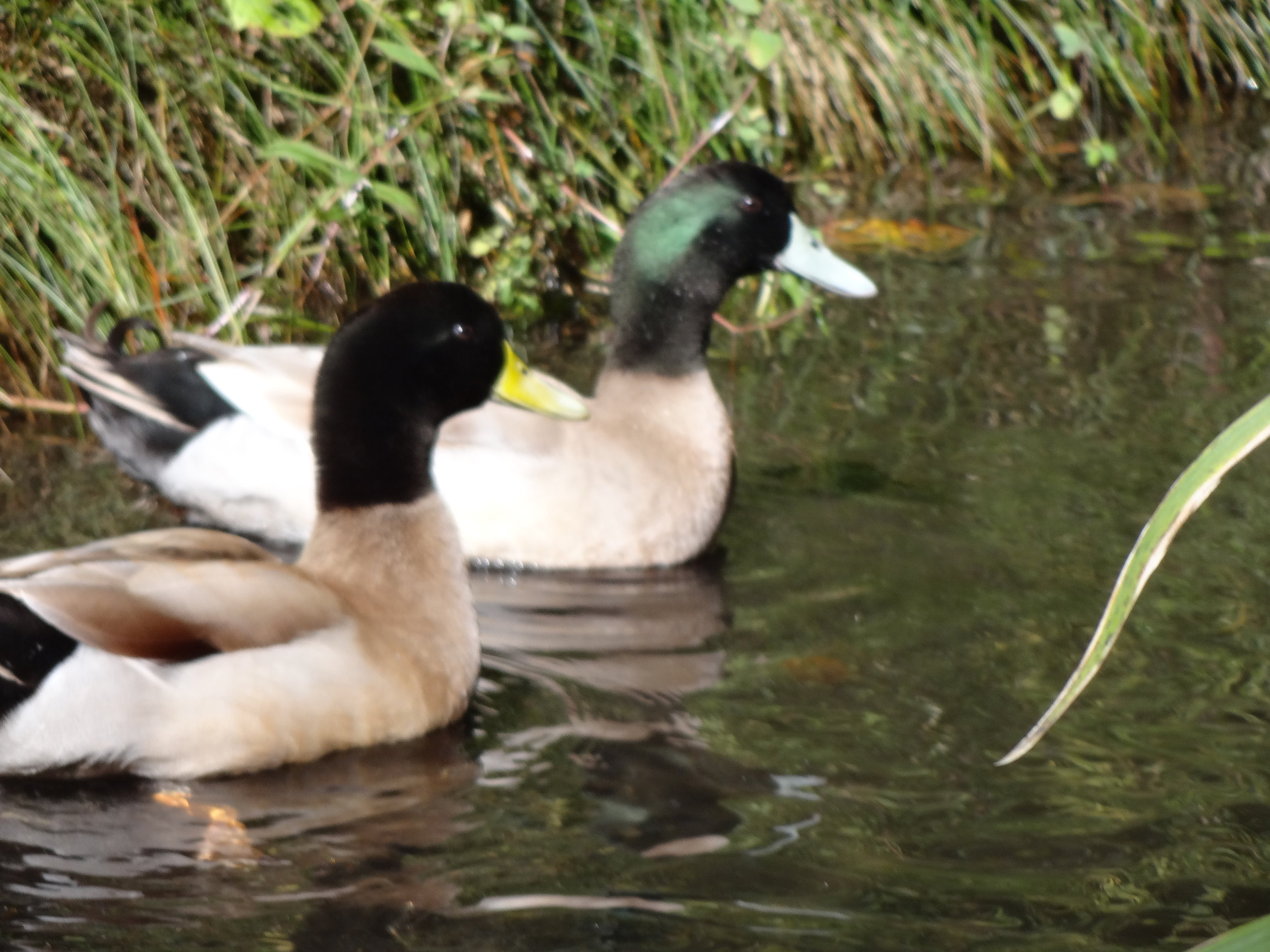 Children love seeing Lily's ducks at Tibbit's Garden.  We started to take sandwich left overs to feed the ducks.