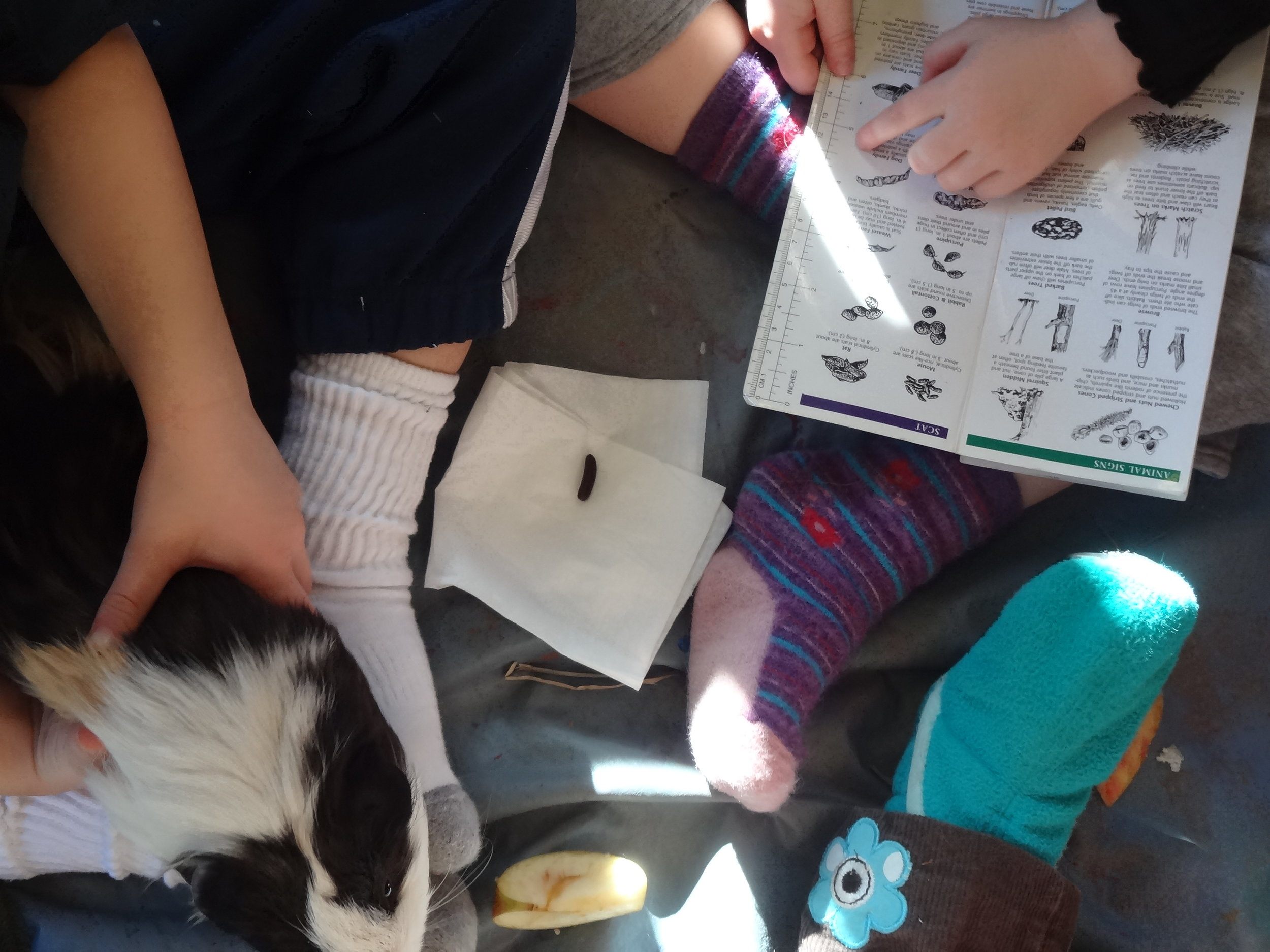 studying the Guinea Pig's scat!