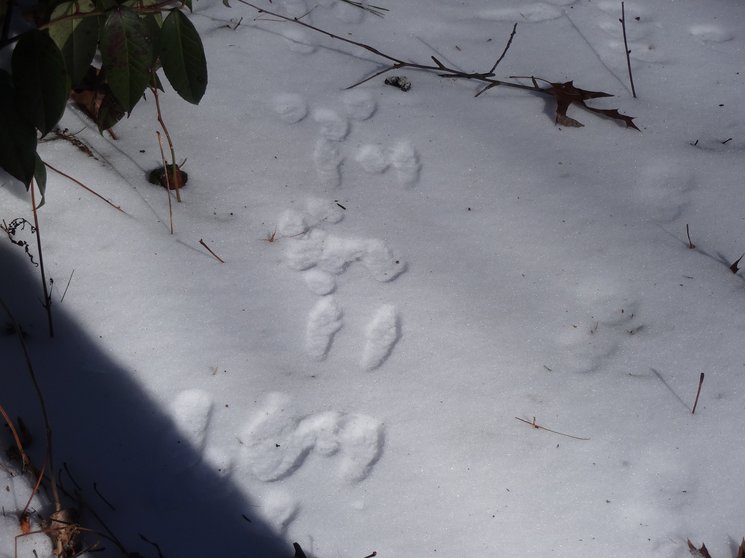 Snow reveals activities of rabbits