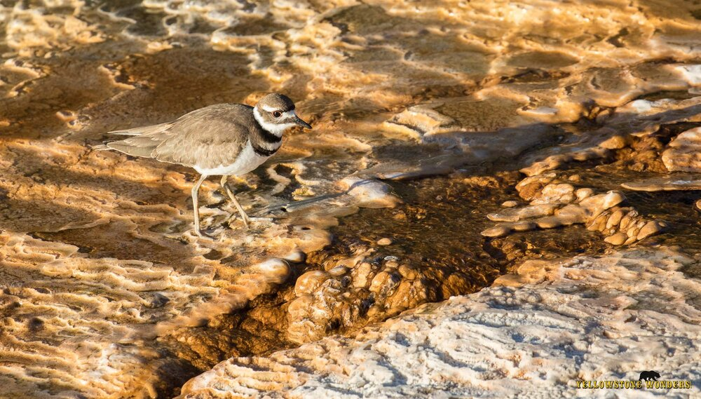 2016_killdeer_0042_wm.jpg