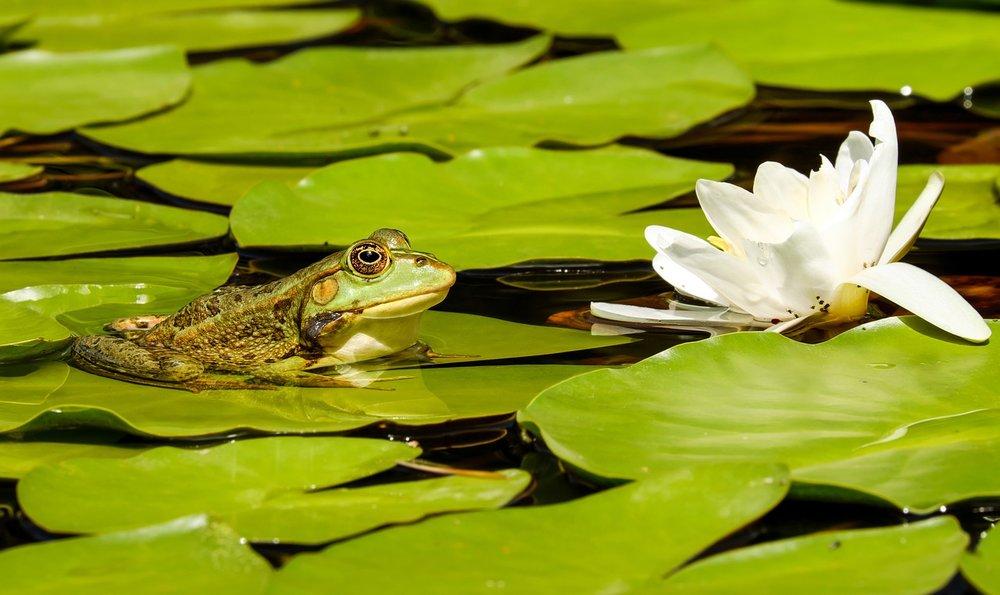 frog-2504507_1280.jpg