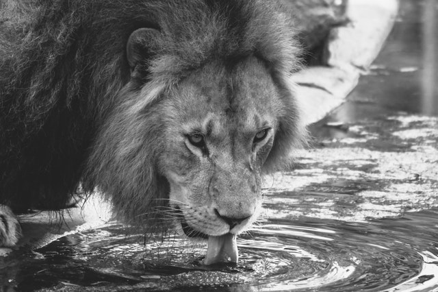lion drinking.jpg