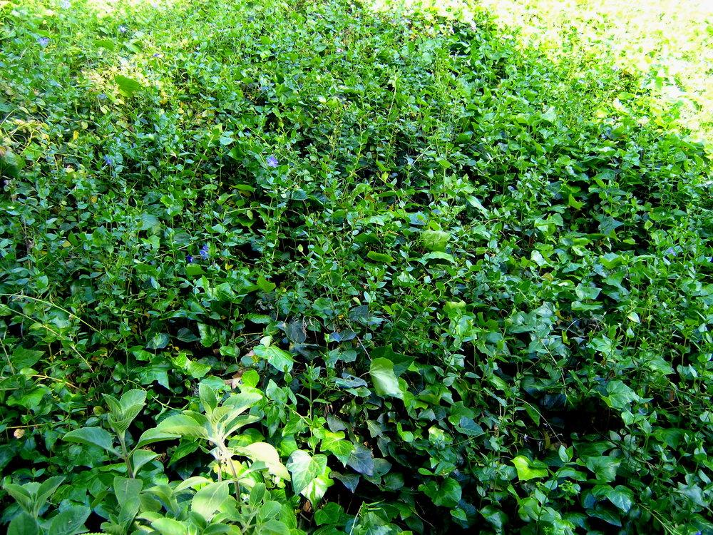 Vinca and Algerian Ivy