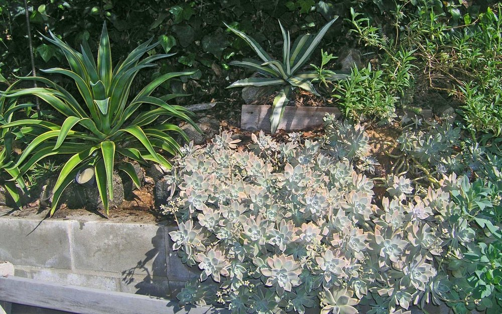 real_gardens-graptopetalum-