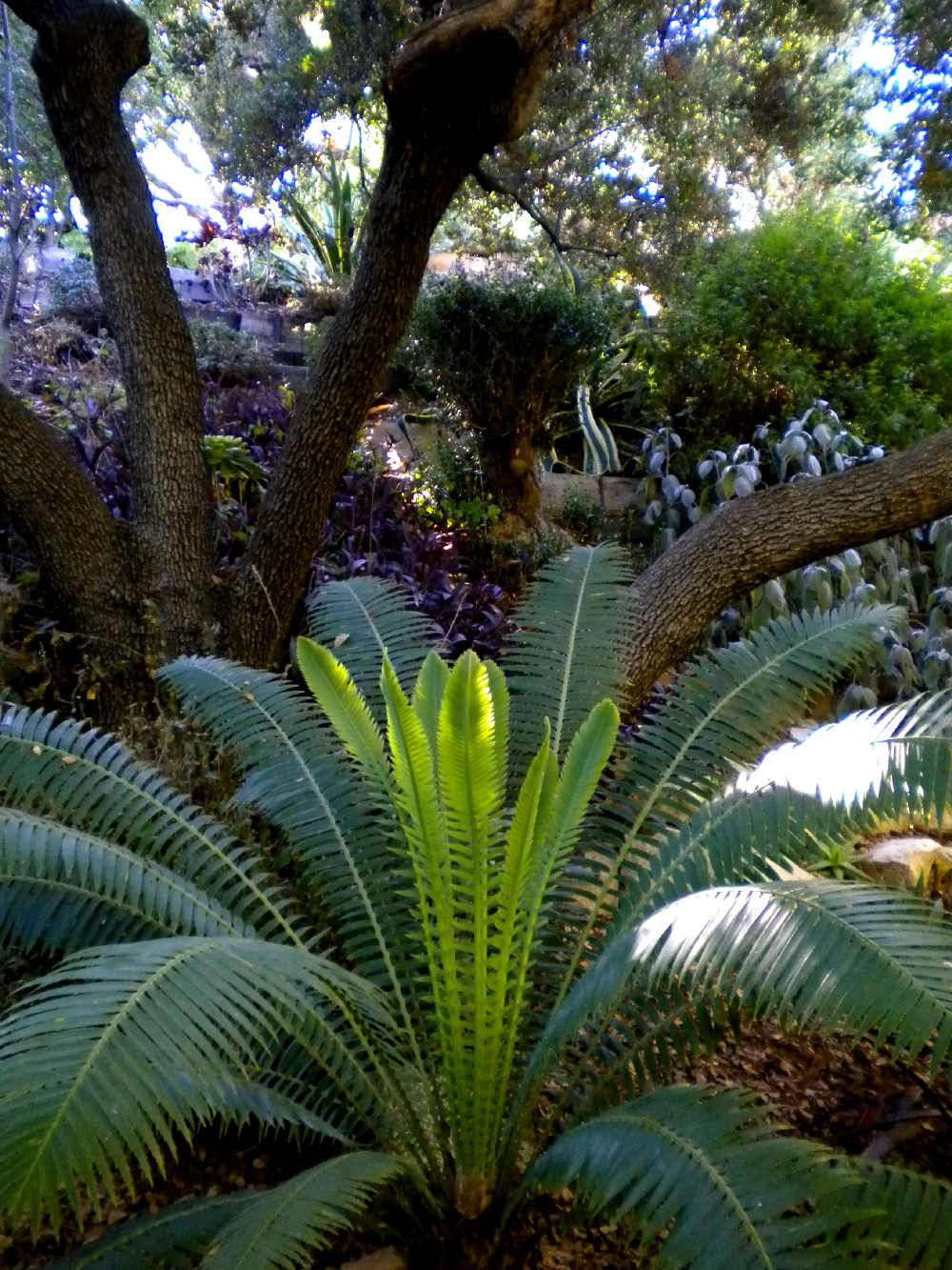 Cycad under oaks