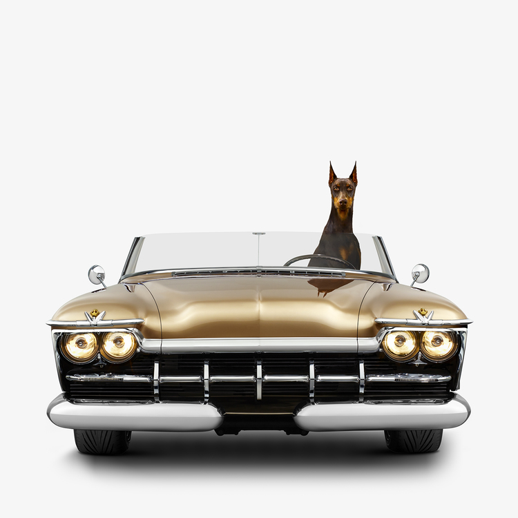 Jenny Risher  Imperial Speedster - Doberman Pinscher (18 1/4 X 18 1/4)  Silver gelatin limited edition photographic print on paper  Email us for all inquiries: gerard@robertkiddgallery.com