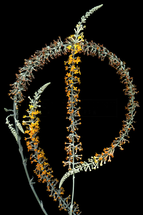 Laurie Tennent  Buddleja (45 x 30)  Cibachrome on aluminum  Email us for all inquiries: gerard@robertkiddgallery.com