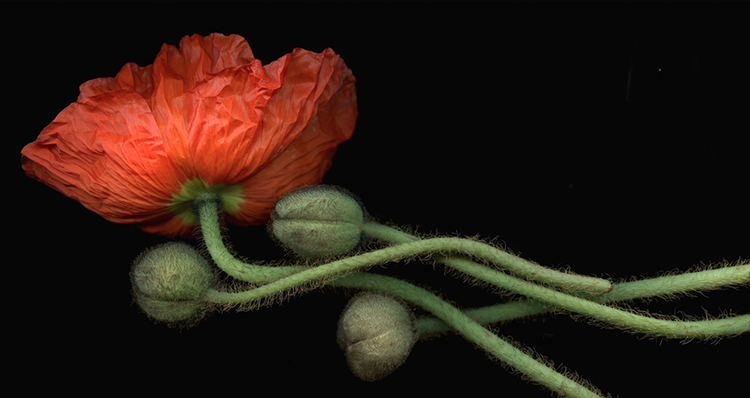 Laurie Tennent  Oriental Poppy ( 35 3/4 x 69 1/2)  Cibachrome on aluminum  Email us for all inquiries: gerard@robertkiddgallery.com