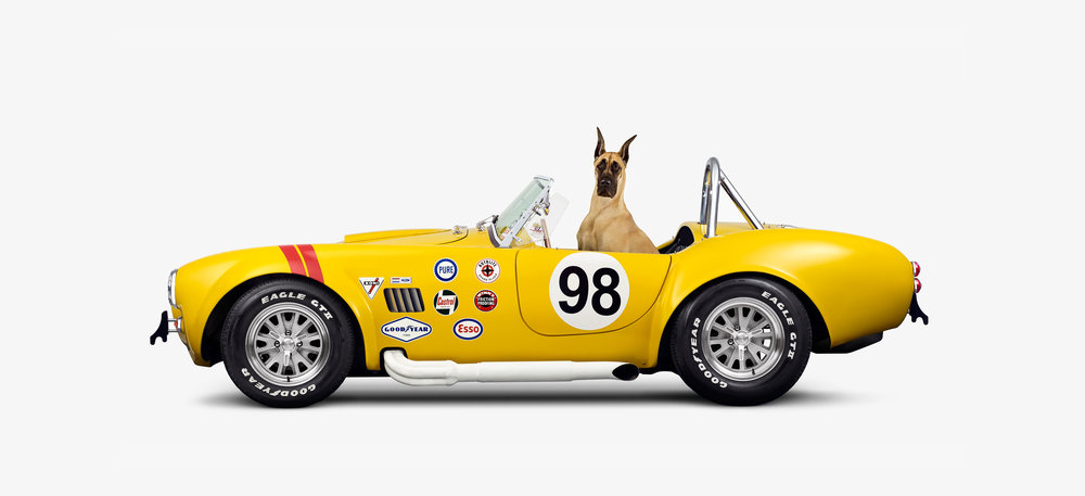 Shelby Cobra & Fawn Great Dane (12 x 22)