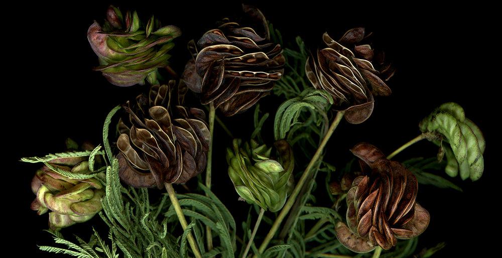 Desmanthus ( 36 x 72)