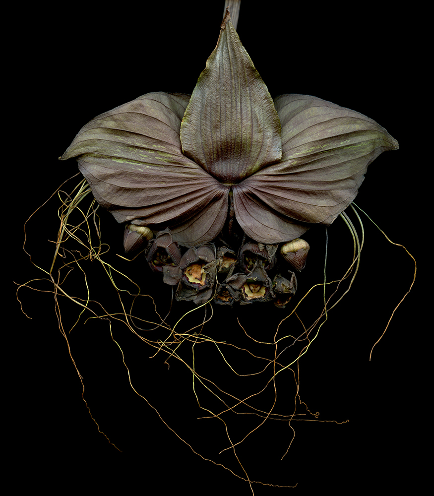 Laurie Tennent  Bat Flowers, ed. 2 of 10 -  (40 x 60)  Cibachrome on aluminum  Email us for all inquiries: gerard@robertkiddgallery.com