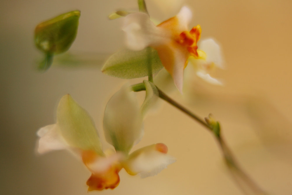 orchid II flipped.jpg
