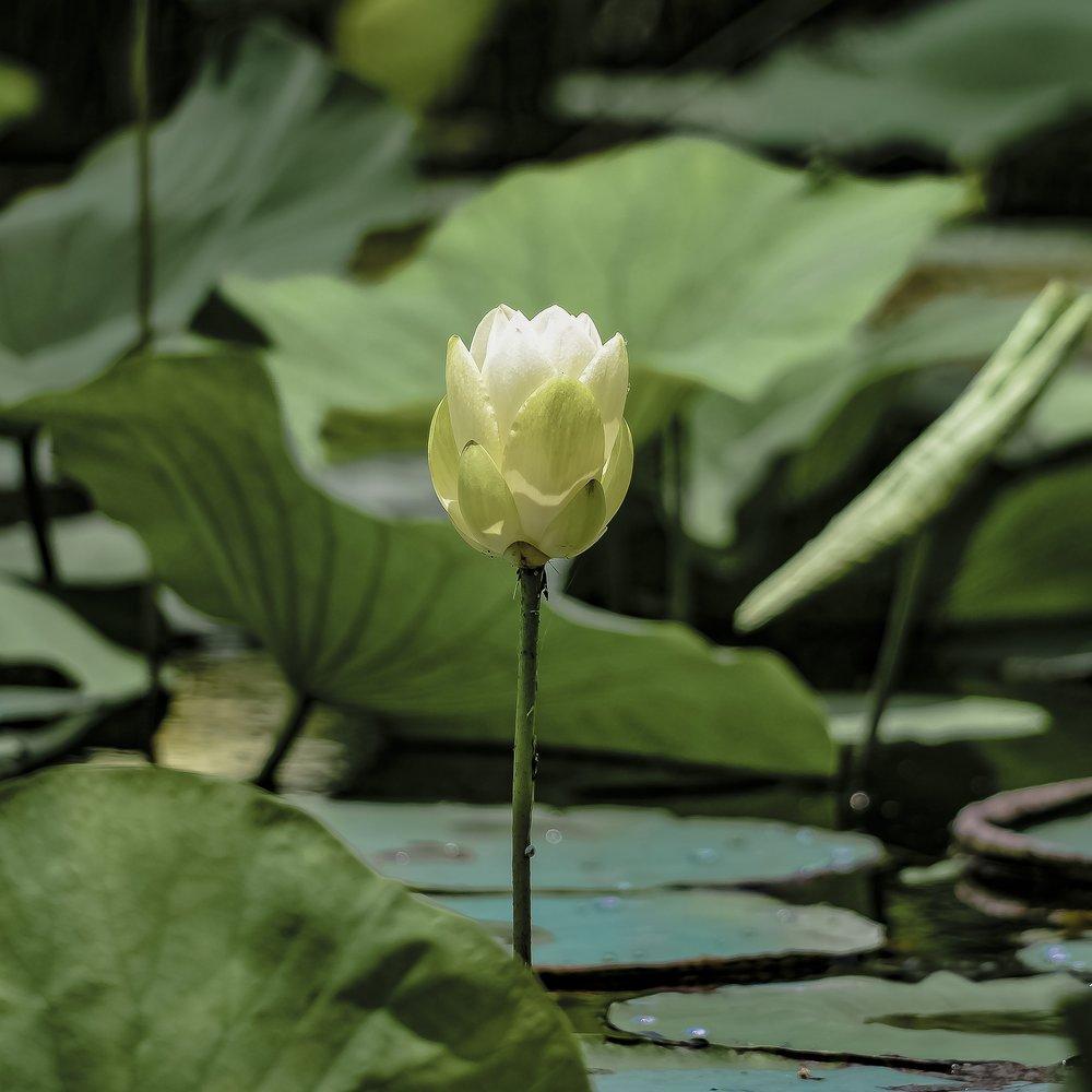 lily-pad-2533355_1920.jpg