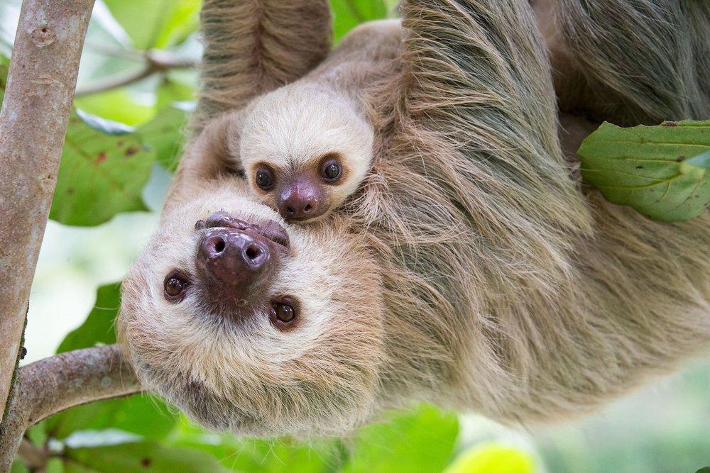 Sloth Bastimentos.jpg