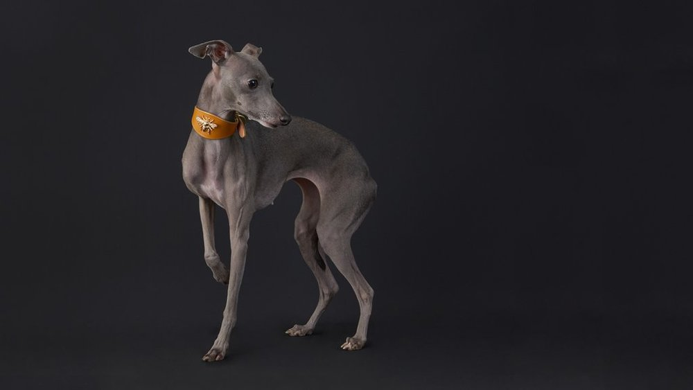 The-Windsor-Sighthound-collar_1024x1024.jpg