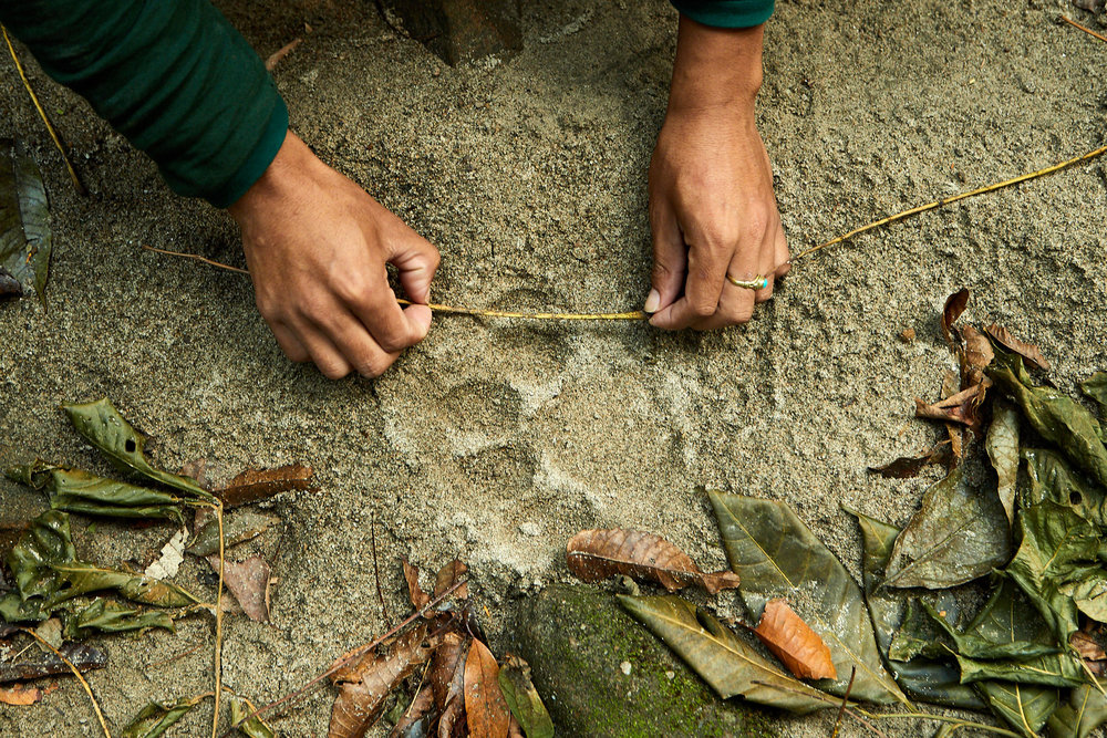 Forestry officer Kinley Wangdi measures a fresh tiger footprint in Manas, Bhutan