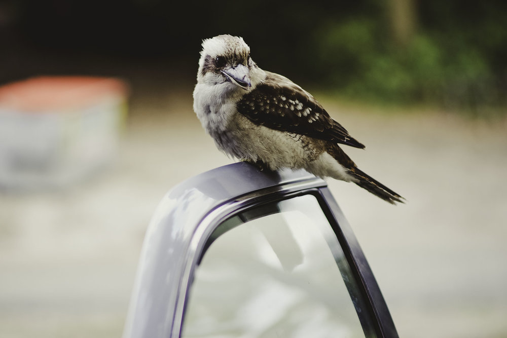 kookaburra+2.jpg
